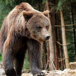 Бурые медведи карпатских гор