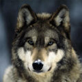 Документальный фильм про волков