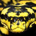 Гигантские змеи убийцы