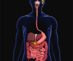 Тайны анатомии: Пищеварительная система